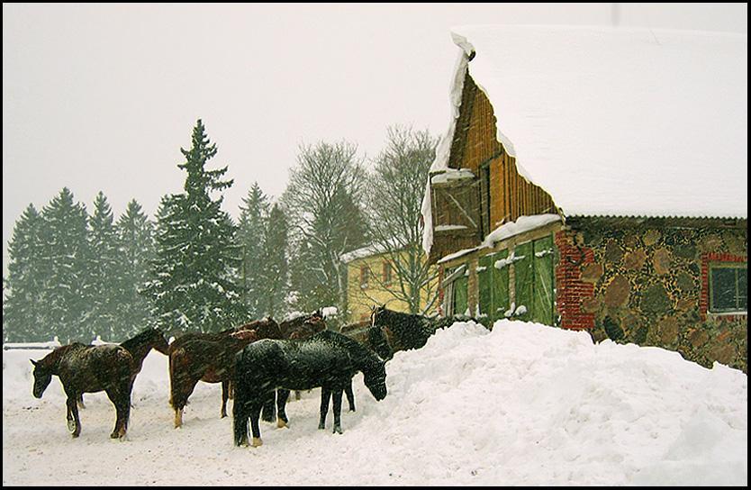 Эстония-родина коневодства) Эстония. Тори. Кони.