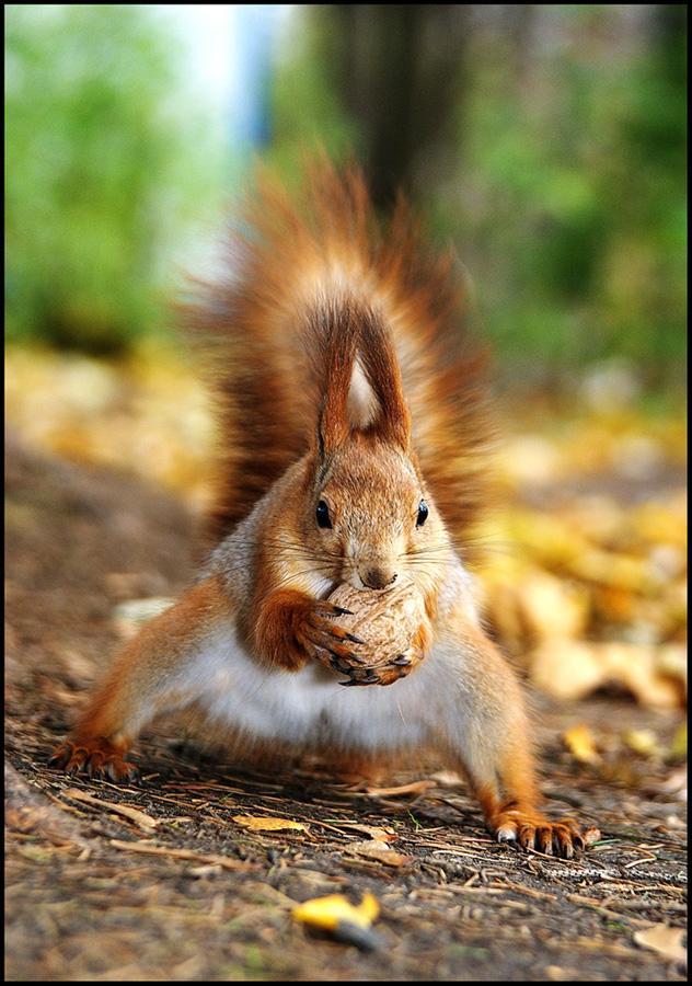 Бороться и искать,найти и перепрятать... Белка,лес,парк,орех,грецкий орех,белки