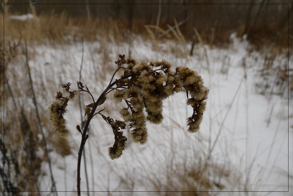 колосок зима, колос, трава