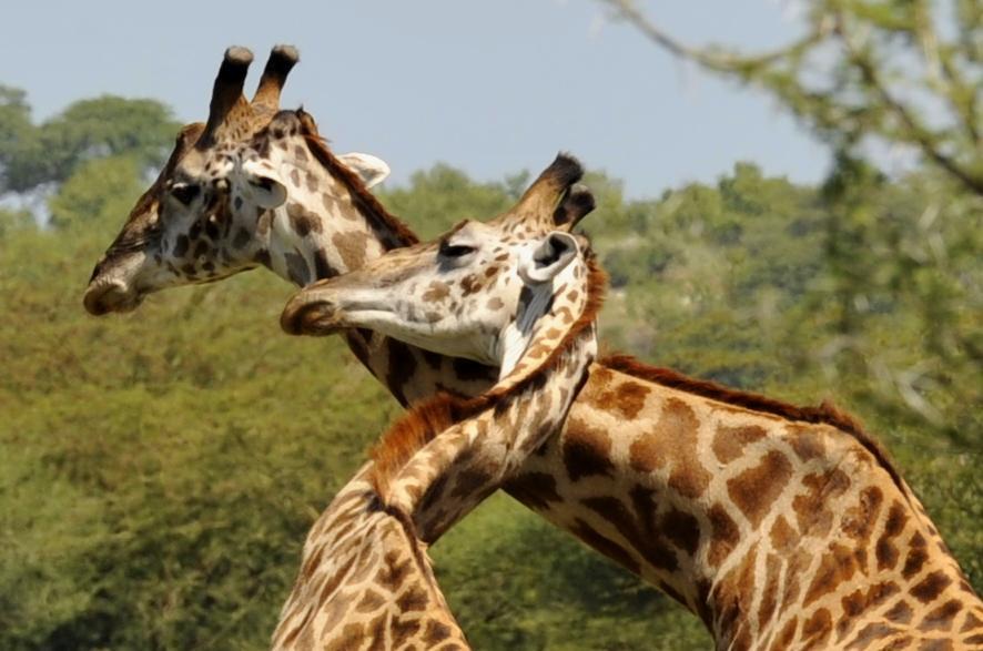 еще раз про любовь жираф