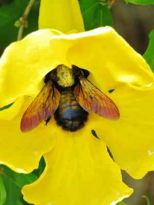 Жёлтый цветок. Шмель жёлтый желтый цветок шмель насекомое опыление yellow flower bumblebee insect bombus apidae bombini pollination