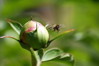 Первый взлет пчела цветок весна взлет