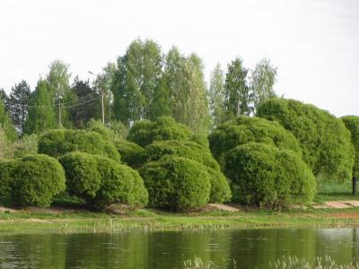 клонированные ивы шаровидные ивы, деревья у пруда