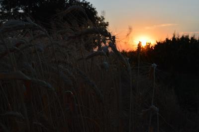 красота в мелочах пшеница закат поле зерно природа