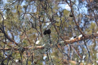 Иголки дерево шишки зима солнечно иголки сосна