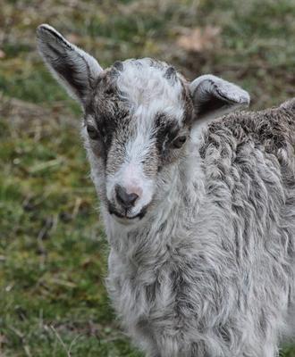 Философское - что в жизни ждёт овцу?