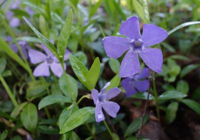 барвинки  цветут цветы барвинок