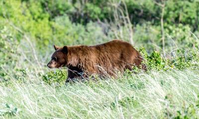 Медведь!2 Alberta Waterton bear медведь Альберта