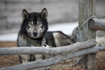 Напряжение Берингия Камчатка собака напряжение