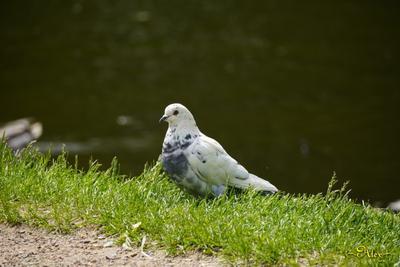 *** птица голубь природа парк
