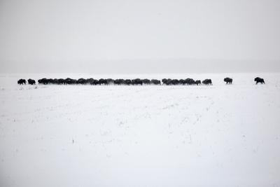 Зубры природа зима снег пейзаж зубр