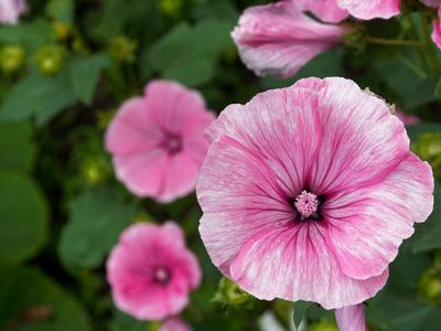 Хибискус природа цветы