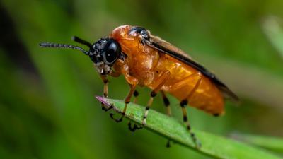 Светляк насекомые светлячки