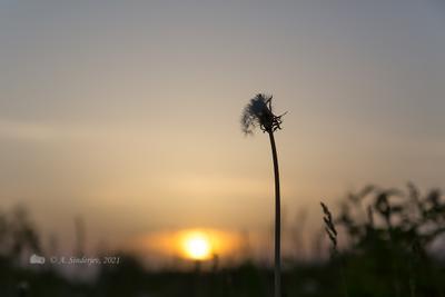 Вечернее одиночество одуванчик закат