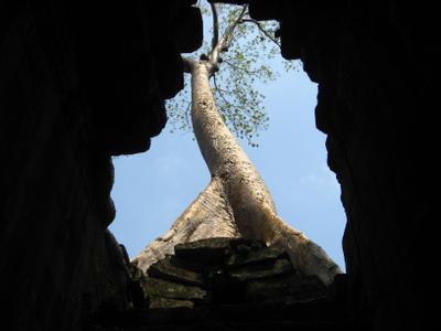 И на камнях растут деревья. Камбоджа дерево
