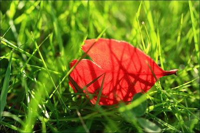 Red leaf красный лист трава закат луч солнце
