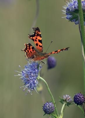 Углокрыльница Бабочка