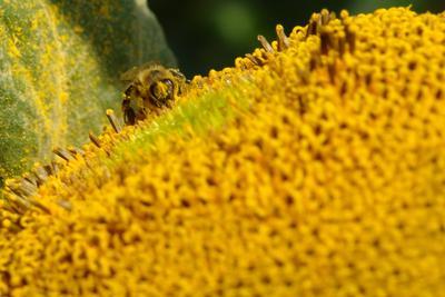Пыльцесборница подсолнухи лето