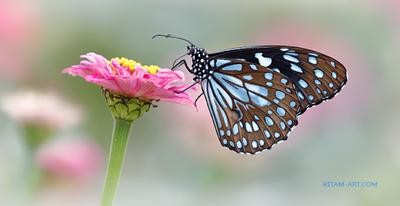 Нежная греза / A Tender Dream бабочка данаида нимфалида Tirumala limniace sepentrionis Danaid Nymphalidae голубой тигр цветок цинния Ритам стихи поэзия