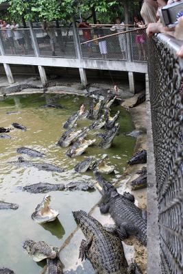 Крокодиловая ферма крокодил, курица
