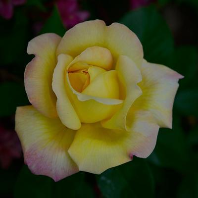 Роза Жёлтая роза