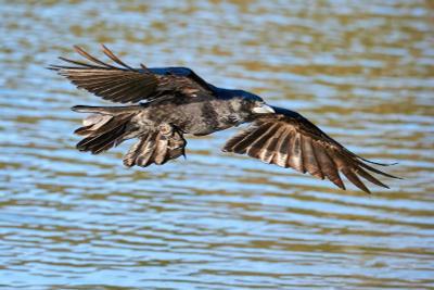 Ворона на закате ворона ворон