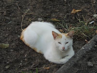 Аккерманский кот Кот Белгород-Днестровский Аккерман коты