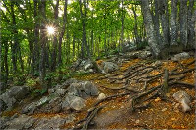 КРЫМСКИЙ ЛЕС... утро лес корни листья крым ай-петри