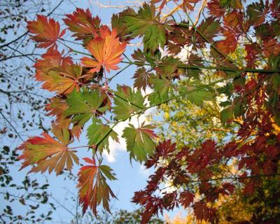 история  про осенние  листья осень, листья, момидзи