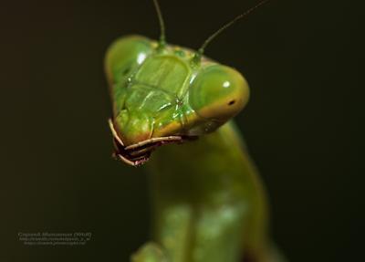 """""""Чужой"""" богомол макро природа насекомое хищник"""