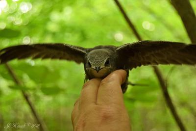 Птенец черного стрижа. животные природа птицы фауна