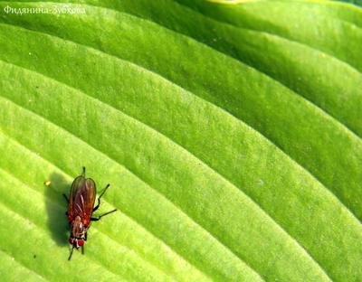 Комнатная муха на листе