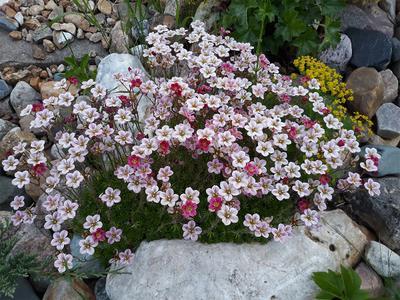 «Камнёвки» цветут Камнёвки мох