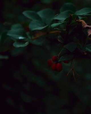 Контрастный барбарис Барбарис красный зелёный природа