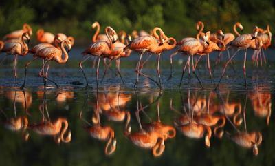 * фламинго, Куба