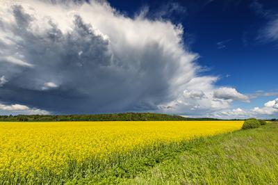 Перед грозой рапс поле лес растения цветение облака гроза весна лето