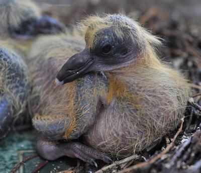 Недельный голубенок.  Голубь,птица,птенец, голубенок, гнездо.