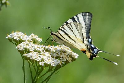 Подалирий (бабочка) макро насекомое насекомые новокуйбышевск природа самара самарская область бабочка бабочки парусники подалирий мотыльки мотылёк фотоохота