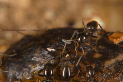 Напра-нале , кругом-бегом муравей сюжет жертва охота смерть макро насекомое Макро