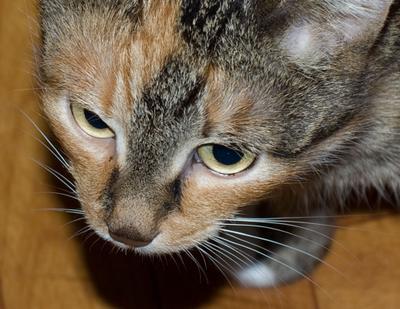 portret Murki кошка, кот, портрет кошки, портрет, кошки