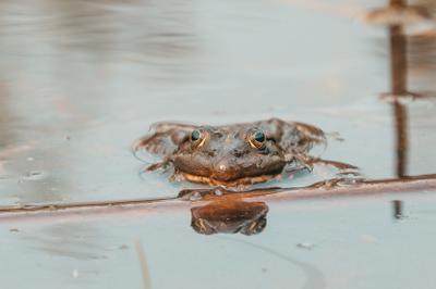 Жаба жаба лягушка животные вода лето