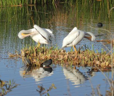 Зеркальная симметрия пеликаны Калифорния Лос Анджелес