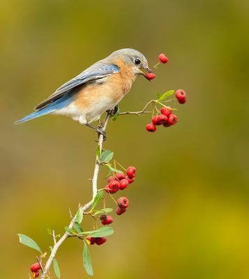 Восточная сиалия (самка) - Eastern Bluebird