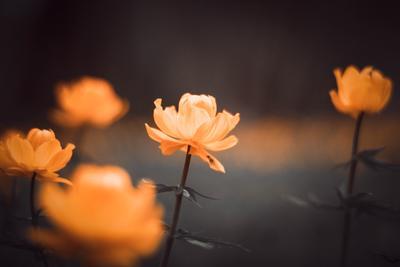 Огоньки цветы