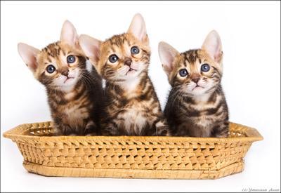 бенгалы котята трое бенгалы