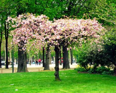 Елисейские поля в цвету Франция Париж Елисейские поля весна цветение дерево