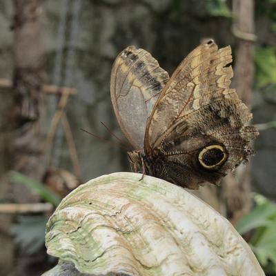 Бабочка-сова (Caligo) бабочка сова