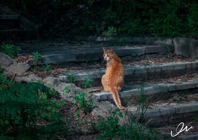 Рыжий кот Кот рыжий