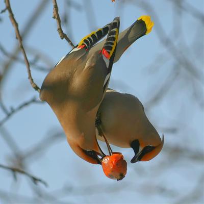 Дуэт птица свиристель