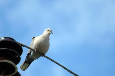 Горлица кольчатая Волгоград птицы весна горлица кольчатая